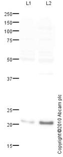 Western blot - Anti-Mitochondrial Ferritin antibody (ab93428)