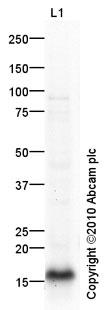 Western blot - alpha Synuclein antibody (ab93432)