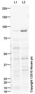 Western blot - STAT3 antibody (ab93446)