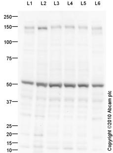 Western blot - CNTN4 antibody (ab93450)