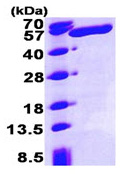 SDS-PAGE - ALDH3A1 protein (His tag) (ab93463)