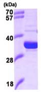 SDS-PAGE - Heme oxygenase 2 protein (Human) (ab93468)