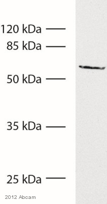 Western blot - Anti-TRP2 antibody - N-terminal (ab93473)