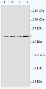 Western blot - Prostaglandin E Receptor EP4 antibody (ab93486)