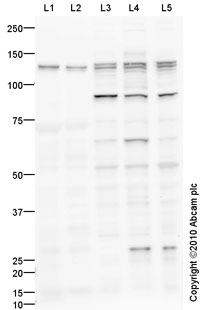Western blot - NFAT4 antibody (ab93628)