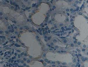 Immunohistochemistry (Formalin/PFA-fixed paraffin-embedded sections) - BMP7 antibody (ab93636)