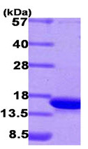 SDS-PAGE - CDKA1 / DOC1  protein (His tag) (ab93647)