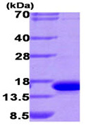 SDS-PAGE - galectin 9 protein (His tag) (ab93649)