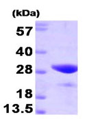 SDS-PAGE - FKBP25 protein (Human) (ab93683)