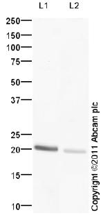 Western blot - TREM1 antibody (ab93717)