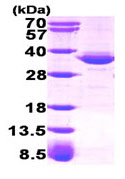 SDS-PAGE - Glycerol 3 Phosphate Dehydrogenase protein (Human) (ab93724)