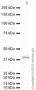 Western blot - AKR1C1 protein (His tag) (ab93730)