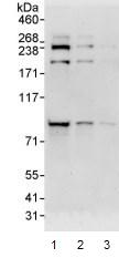 Western blot - PI 3 Kinase p85 beta antibody (ab93778)