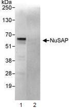 Immunoprecipitation - NUSAP1 antibody (ab93779)