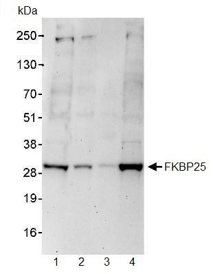 Western blot - FKBP25 antibody (ab93782)