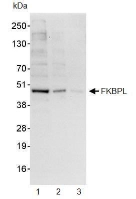 Western blot - FKBPL antibody (ab93783)