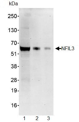 Western blot - NFIL3 antibody (ab93785)