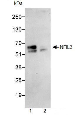 Immunoprecipitation - NFIL3 antibody (ab93785)