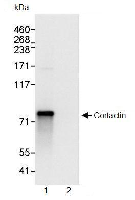 Immunoprecipitation - Cortactin antibody (ab93796)