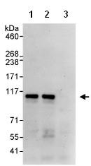 Immunoprecipitation - KAT13D / CLOCK antibody (ab93805)