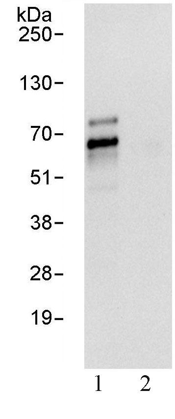 Immunoprecipitation - TFE3 antibody (ab93808)