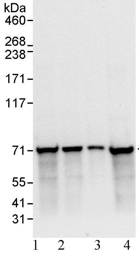 Western blot - Ku70 antibody (ab93809)
