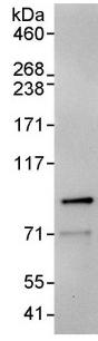 Immunoprecipitation - Ku80 antibody (ab93863)