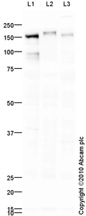 Western blot - CD13 antibody (ab93897)