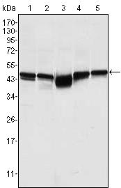 Western blot - GSK3 beta antibody [3D10] (ab93926)