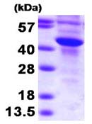 SDS-PAGE - SULT2B1 protein (Human) (ab93936)