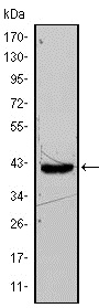 Western blot - FABP4 antibody [9B8D] (ab93945)