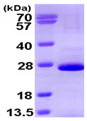 SDS-PAGE - SOX2 protein (His tag) (ab93948)