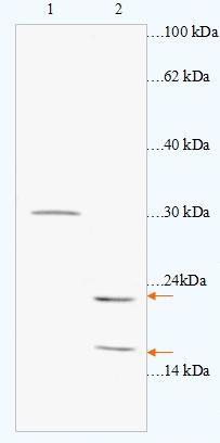 Western blot - Caveolin 1/3 antibody (ab93952)