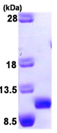SDS-PAGE - CCL27 protein (Human) (ab93953)