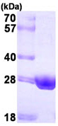 SDS-PAGE - ERAB protein (His tag) (ab93954)