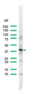 Western blot - ERCC1 antibody (ab93960)