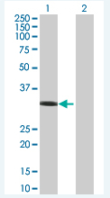 Western blot - Rad51 293T Transfected Lysate - (positive control) (ab94044)