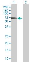 Western blot - Cytokeratin 19 293T Transfected Lysate - (positive control) (ab94060)
