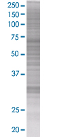 SDS-PAGE - Cyclin D2 293T Transfected Lysate - (positive control) (ab94090)