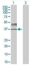 Western blot - CD147 293T Transfected Lysate - (positive control) (ab94097)