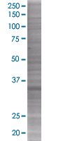 SDS-PAGE - BRDG 1 293T Transfected Lysate - (positive control) (ab94204)