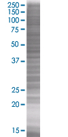 SDS-PAGE - SLAP2 293T Transfected Lysate - (positive control) (ab94209)