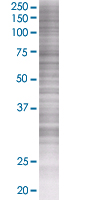 SDS-PAGE - Fos B 293T Transfected Lysate - (positive control) (ab94279)