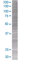 SDS-PAGE - Cdk4 293T Transfected Lysate - (positive control) (ab94290)