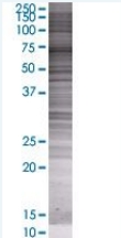SDS-PAGE - AMPK alpha 1 293T Transfected Lysate - (positive control) (ab94311)