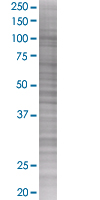 SDS-PAGE - Apc2 293T Transfected Lysate - (positive control) (ab94319)