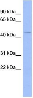 Western blot - ZNF70 antibody (ab94355)