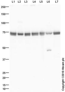Western blot - Hsp70 antibody (ab94368)