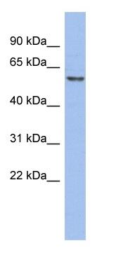 Western blot - GTF2H1 antibody (ab94407)