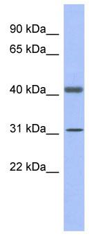 Western blot - GAPDHS antibody (ab94411)